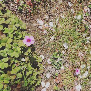 桜とカタバミの花
