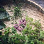 タイムなど庭の摘み草